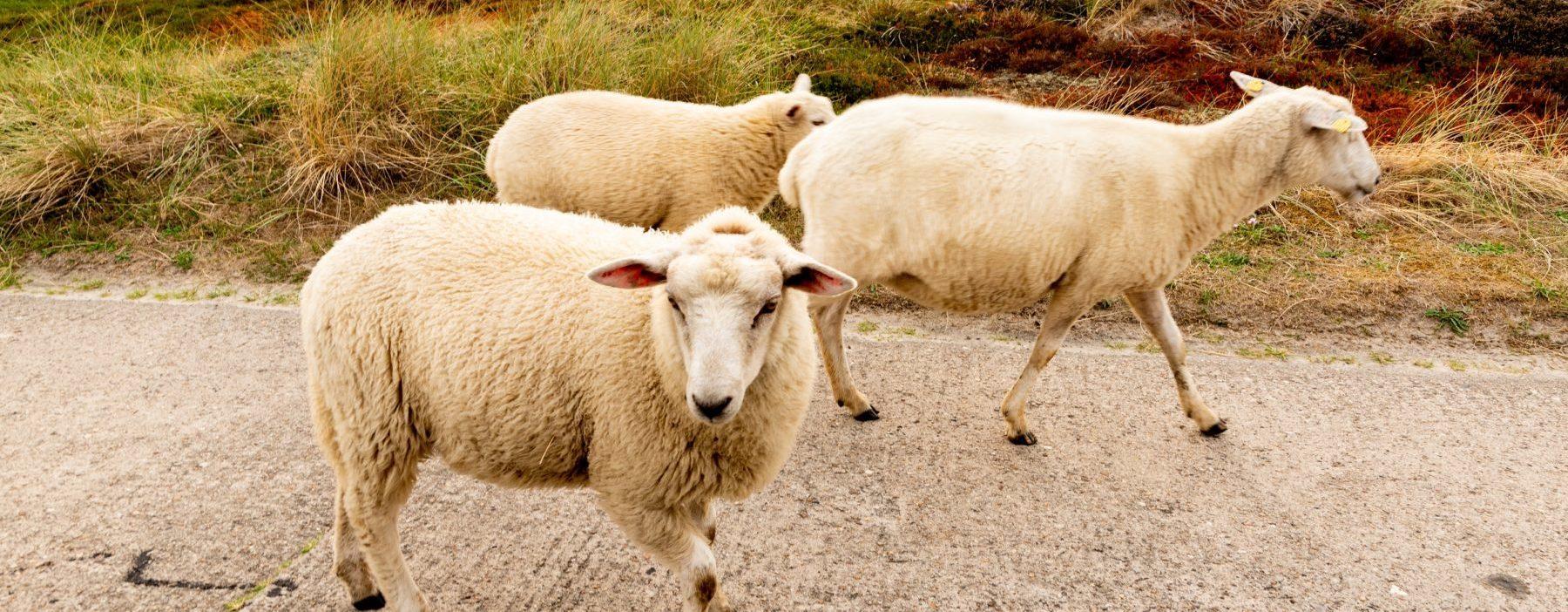 Schafe Insel Sylt Dhm 2233